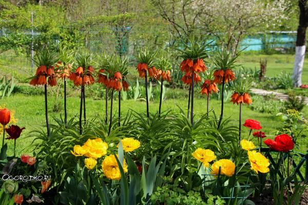 Рябчик императорский, посадка и уход  когда сажать весной и осенью, почему не цветет