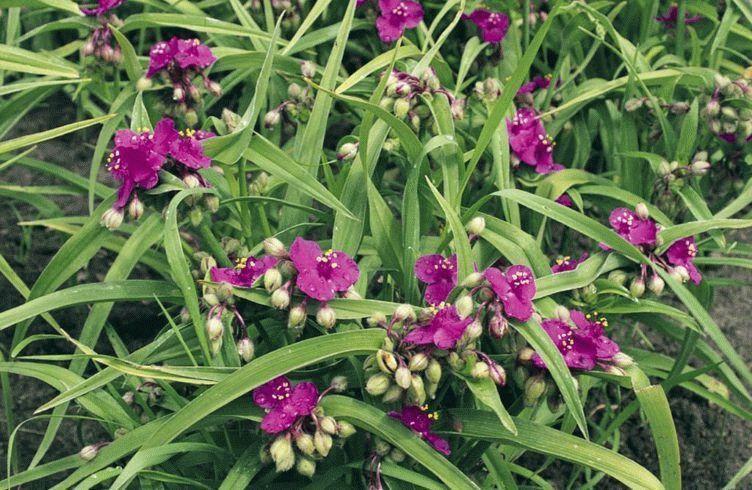 Садовая традесканция – размножение, посадка и уход