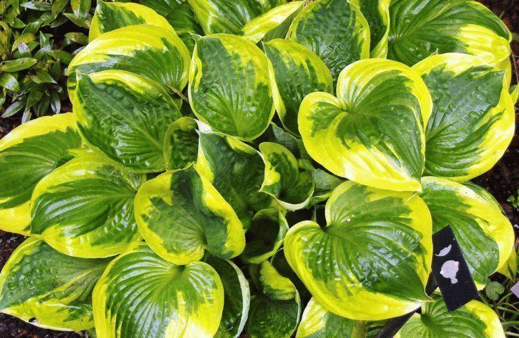 Садовое растение хоста – размножение, посадка и уход