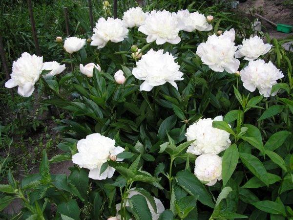 Самые неприхотливые многолетние цветы для сада