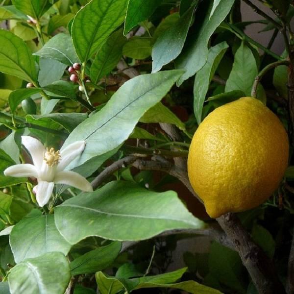Самые опасные болезни лимона в домашних условиях