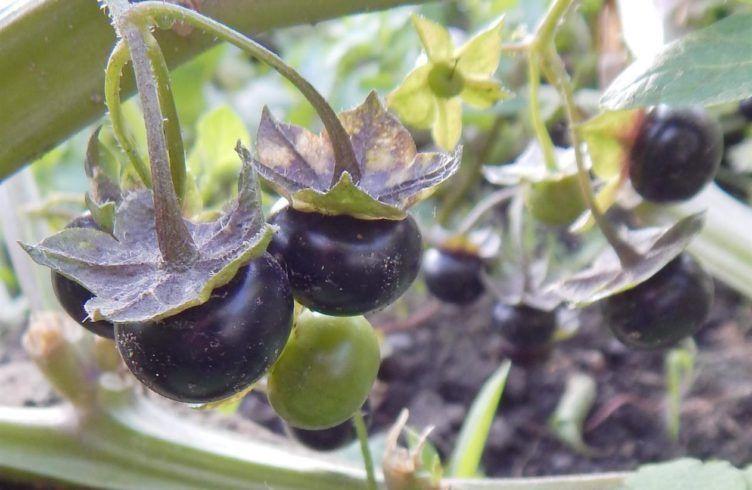 Сараха овощная – выращивание, посадка, размножение и уход