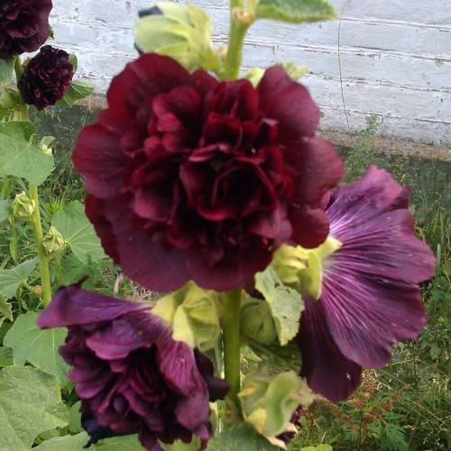 Шток-роза (мальва): выращивание, уход и лекарственные свойства