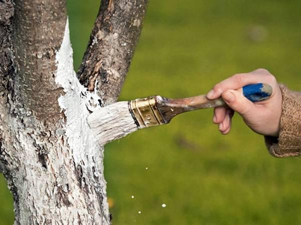 Слива Тульская чёрная: секреты культивирования урожайного дерева