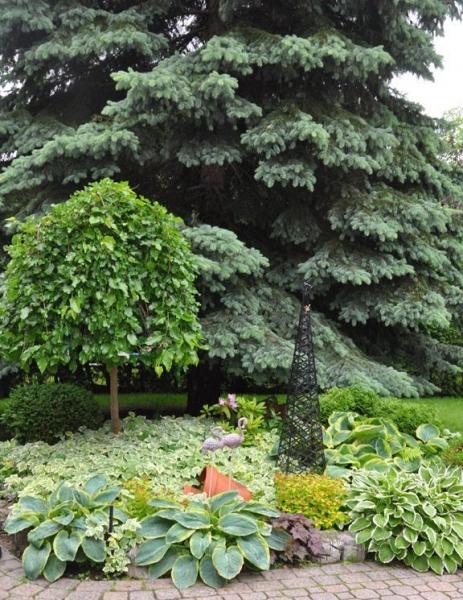 Сныть – выращивание, посадка, размножение и уход