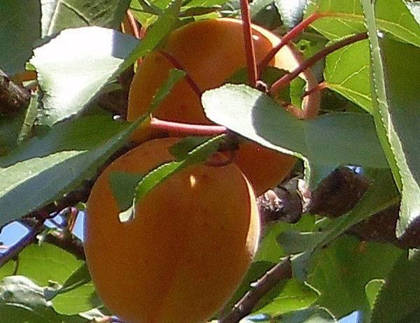Солнечный сорт абрикоса Триумф Северный