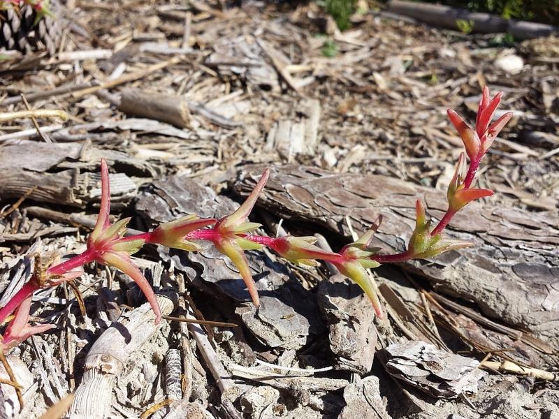 Солянка содоносная — выращивание, посадка, размножение и уход