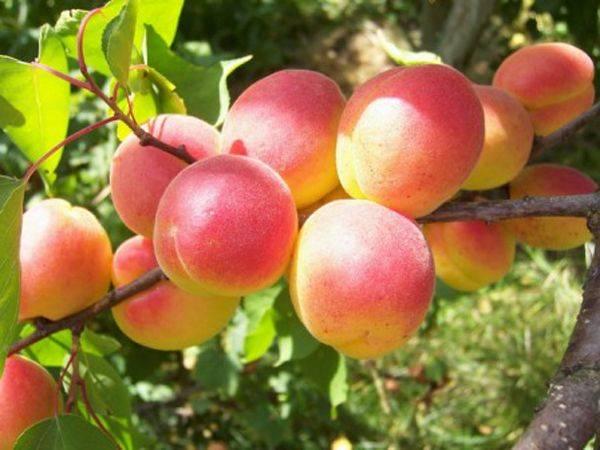 Советы по уходу за неприхотливым Краснощеким абрикосом