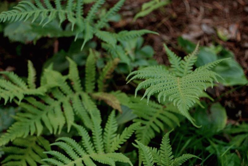 Страусник обыкновенный — размножение, посадка и уход