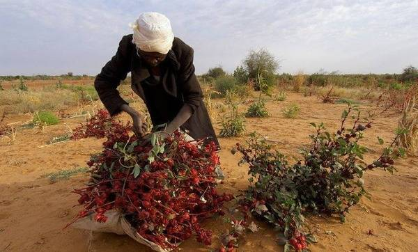 Суданская роза: яркая красавица с целебными свойствами