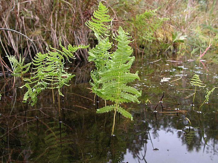 Телиптерис болотный – размножение, посадка и уход