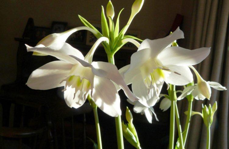 Уход за комнатными лилиями. Условия содержания цветов