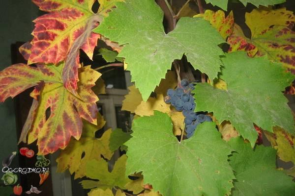 Уход за виноградом осенью  секреты и правила