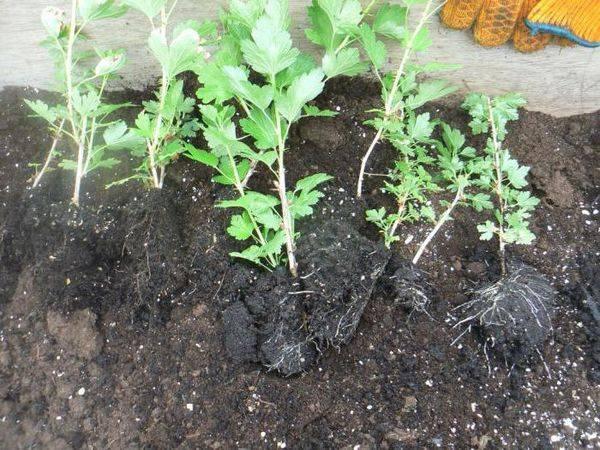 Урожай без хлопот с крыжовником сорта Малахит