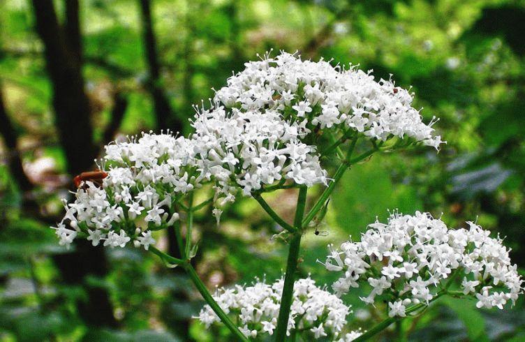 Валериана – посадка, выращивание и уход