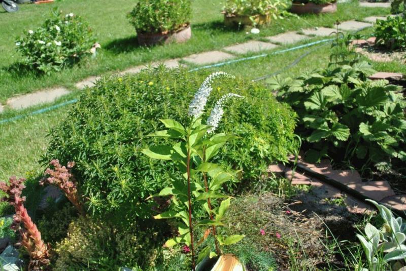 Вербейник клетровидный или ландышевый — размножение, посадка и уход
