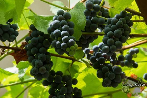 Виноград Изабелла  описание сорта, посадка и уход, формирование куста