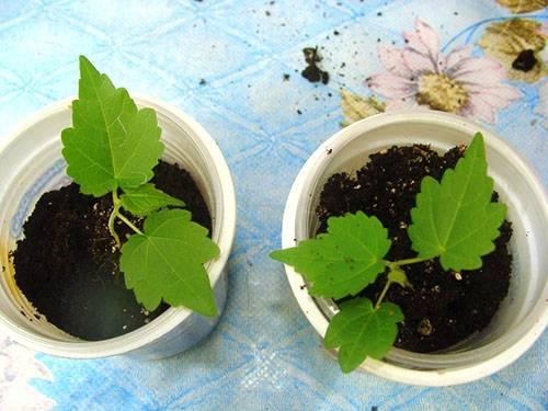 Выращиваем дома абутилон из семян