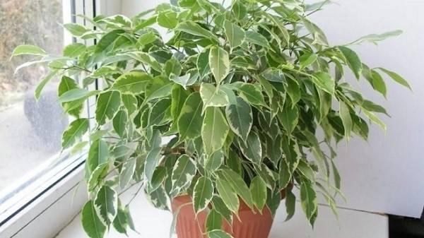 Выращиваем в квартире миниатюрное деревце - фикус Кинки