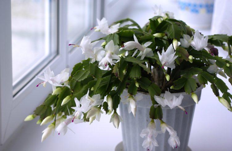 Выращивание декабриста из листочка. Технология посадки и рекомендации по последующему уходу