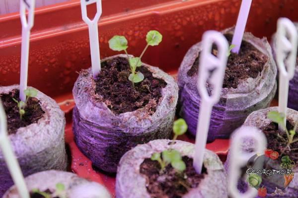 Выращивание примулы из семян в домашних условиях  основной уход