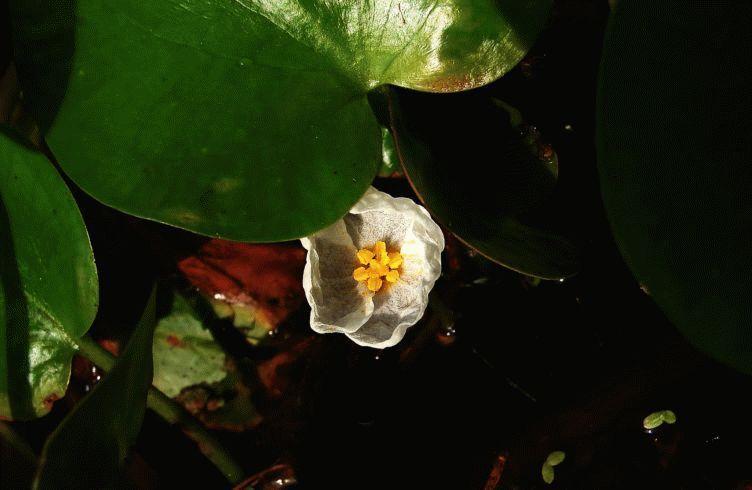 Водокрас обыкновенный — размножение, посадка и уход.