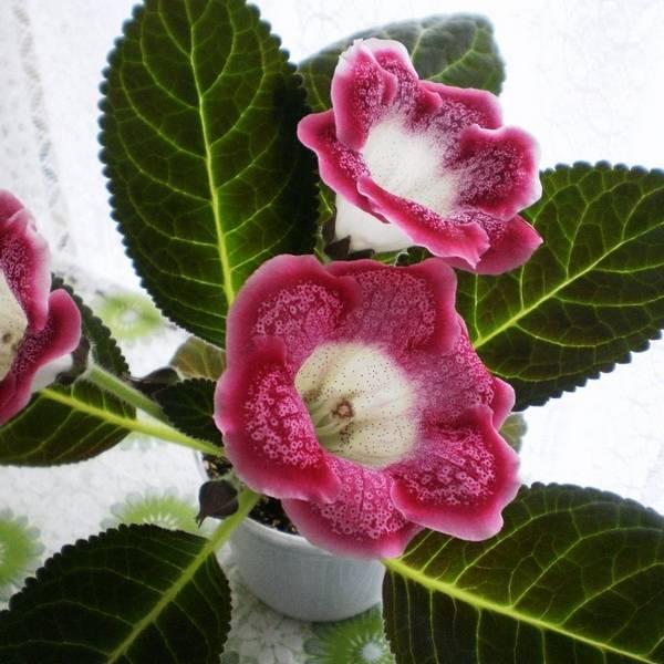 Здоровая глоксиния - выращивание и уход без хлопот и забот